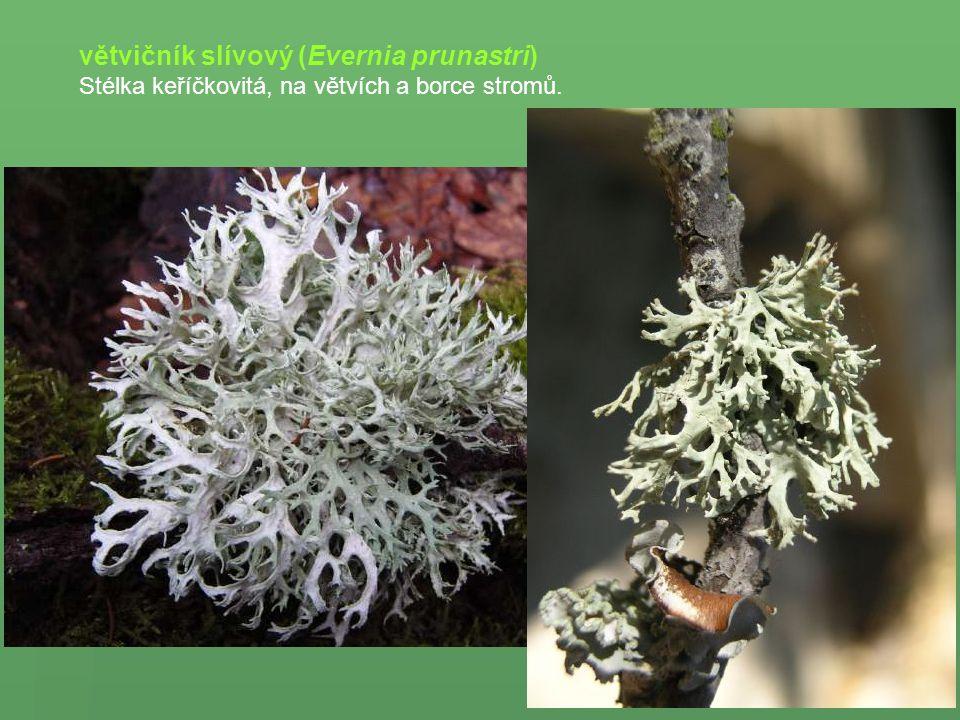 větvičník slívový (Evernia prunastri) Stélka keříčkovitá, na větvích a borce stromů.