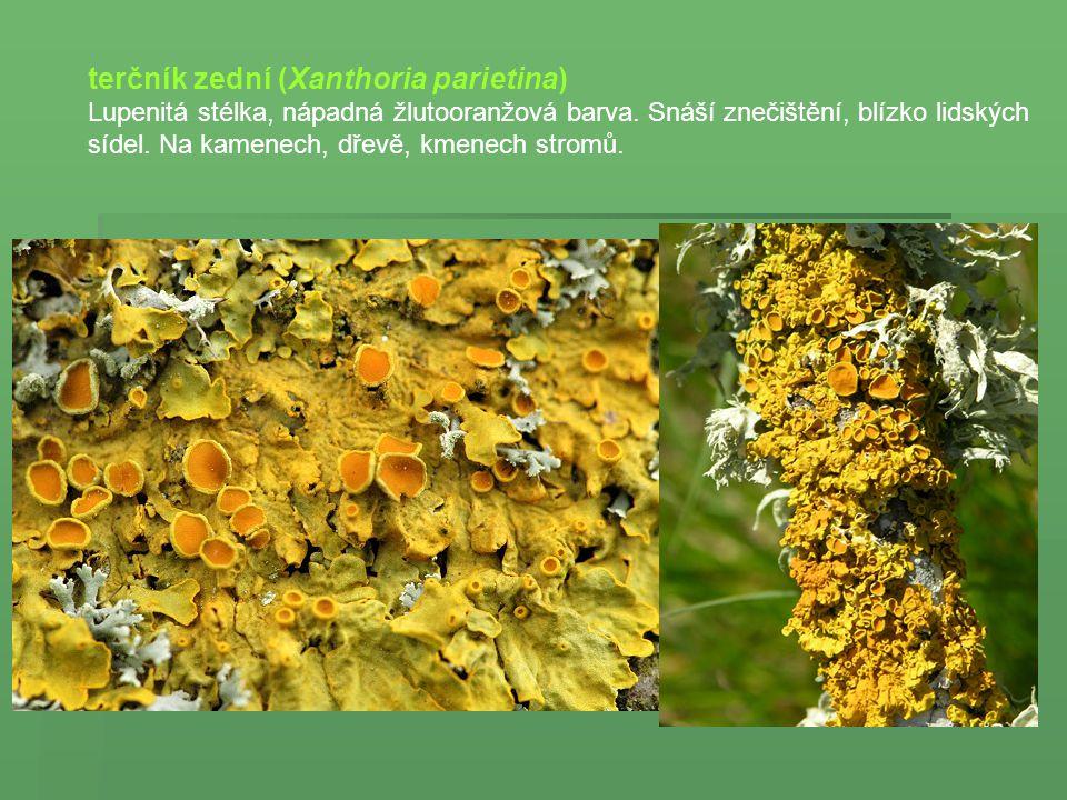 terčník zední (Xanthoria parietina) Lupenitá stélka, nápadná žlutooranžová barva. Snáší znečištění, blízko lidských sídel. Na kamenech, dřevě, kmenech