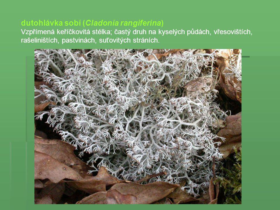 dutohlávka sobí (Cladonia rangiferina) Vzpřímená keříčkovitá stélka; častý druh na kyselých půdách, vřesovištích, rašeliništích, pastvinách, suťovitýc