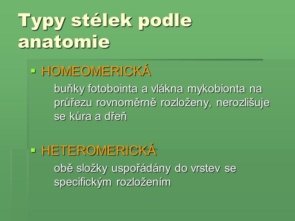 Typy stélek podle anatomie  HOMEOMERICKÁ buňky fotobointa a vlákna mykobionta na průřezu rovnoměrně rozloženy, nerozlišuje se kůra a dřeň  HETEROMER