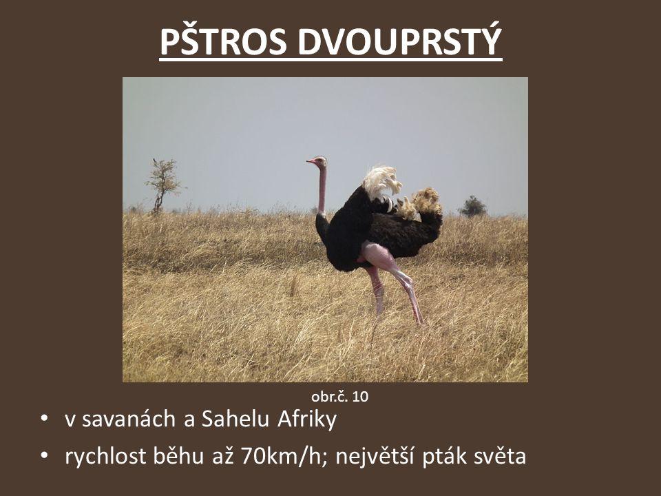 PŠTROS DVOUPRSTÝ v savanách a Sahelu Afriky rychlost běhu až 70km/h; největší pták světa obr.č. 10
