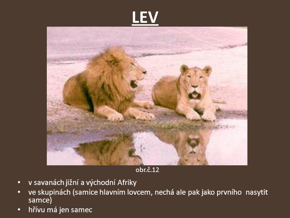 LEV v savanách jižní a východní Afriky ve skupinách (samice hlavním lovcem, nechá ale pak jako prvního nasytit samce) hřívu má jen samec obr.č.12