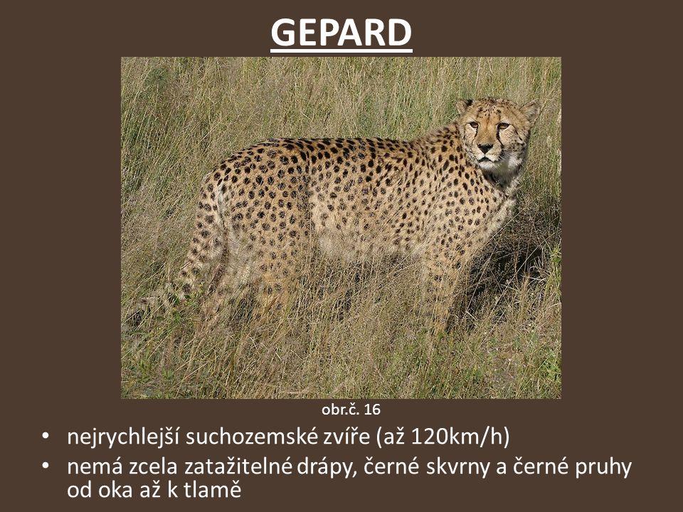 GEPARD nejrychlejší suchozemské zvíře (až 120km/h) nemá zcela zatažitelné drápy, černé skvrny a černé pruhy od oka až k tlamě obr.č.