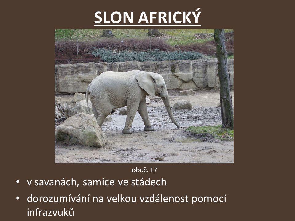 SLON AFRICKÝ v savanách, samice ve stádech dorozumívání na velkou vzdálenost pomocí infrazvuků obr.č.