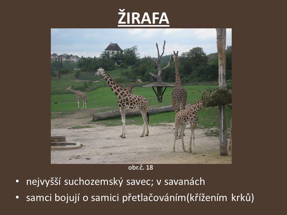 ŽIRAFA nejvyšší suchozemský savec; v savanách samci bojují o samici přetlačováním(křížením krků) obr.č.