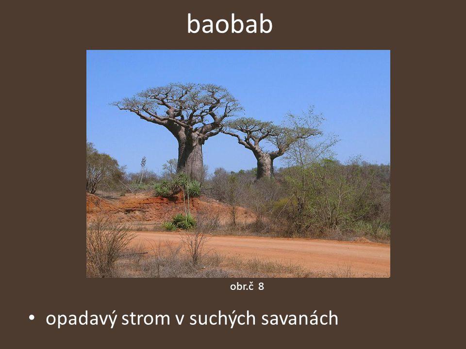 baobab opadavý strom v suchých savanách obr.č 8