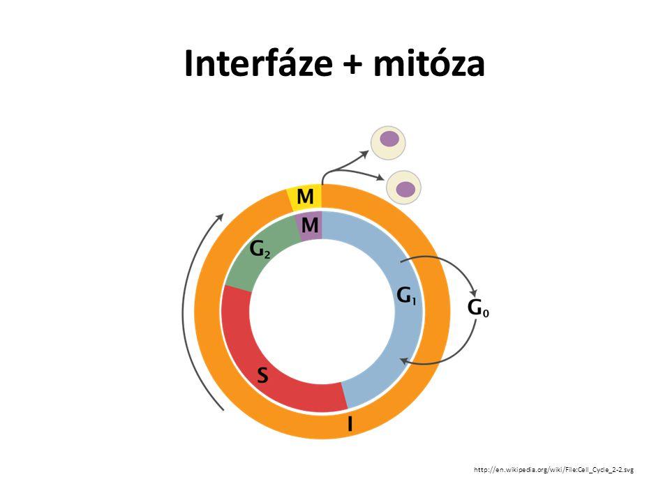 Interfáze reparační mechanismy příprava na mitózu http://www.unc.edu/depts/our/hhmi/hhmi-ft_learning_modules/