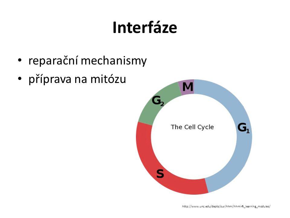 """G 1 -fáze """"gap = mezera začíná po skončení buněčného dělení reparační mechanismy – oprava částí DNA poškozených mutacemi hlavní kontrolní bod buněčného cyklu zdvojení buněčné hmoty, syntéza enzymů pro budoucí replikaci DNA končí zahájením replikace DNA obvykle nejdelší z fází buněčného cyklu"""