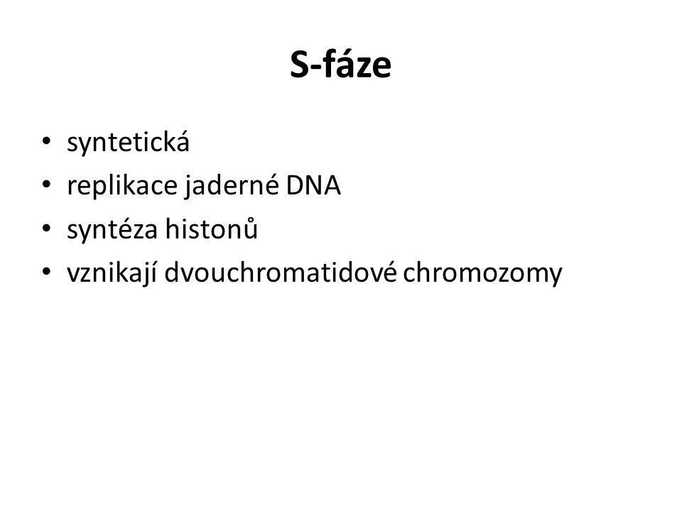 G 2 -fáze příprava na mitózu syntéza a aktivace proteinů nezbytných pro průběh mitózy (k tvorbě mitotického aparátu, kondenzaci chromozomů a destrukci jaderného obalu) končí zahájením mitózy je zde 2.