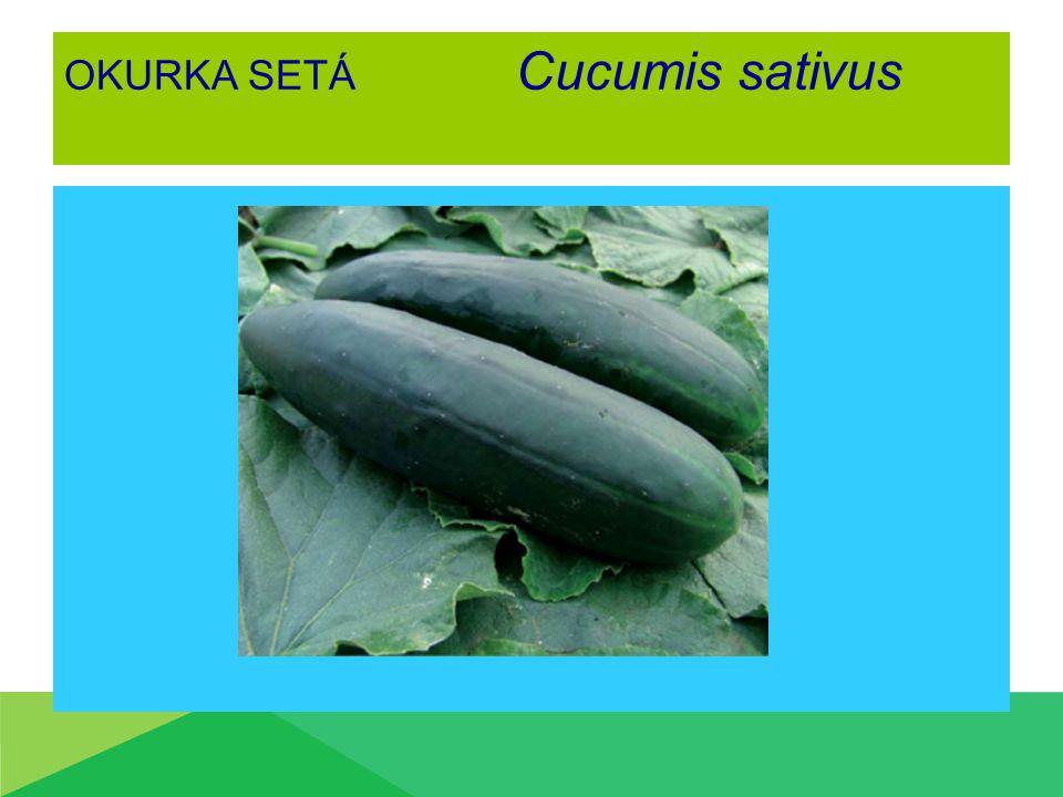 OKURKA SETÁ Cucumis sativus