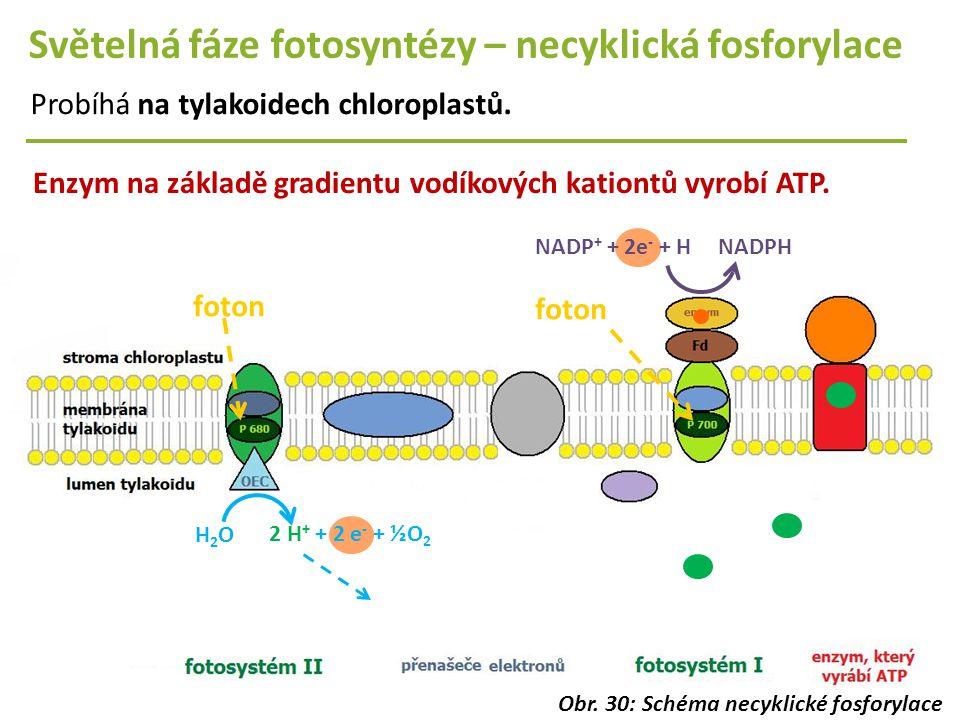 Světelná fáze fotosyntézy – necyklická fosforylace Probíhá na tylakoidech chloroplastů. foton Enzym na základě gradientu vodíkových kationtů vyrobí AT