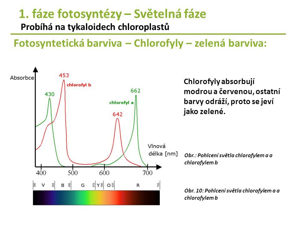 Obr.: Pohlcení světla chlorofylem a a chlorofylem b Chlorofyly absorbují modrou a červenou, ostatní barvy odráží, proto se jeví jako zelené. Fotosynte