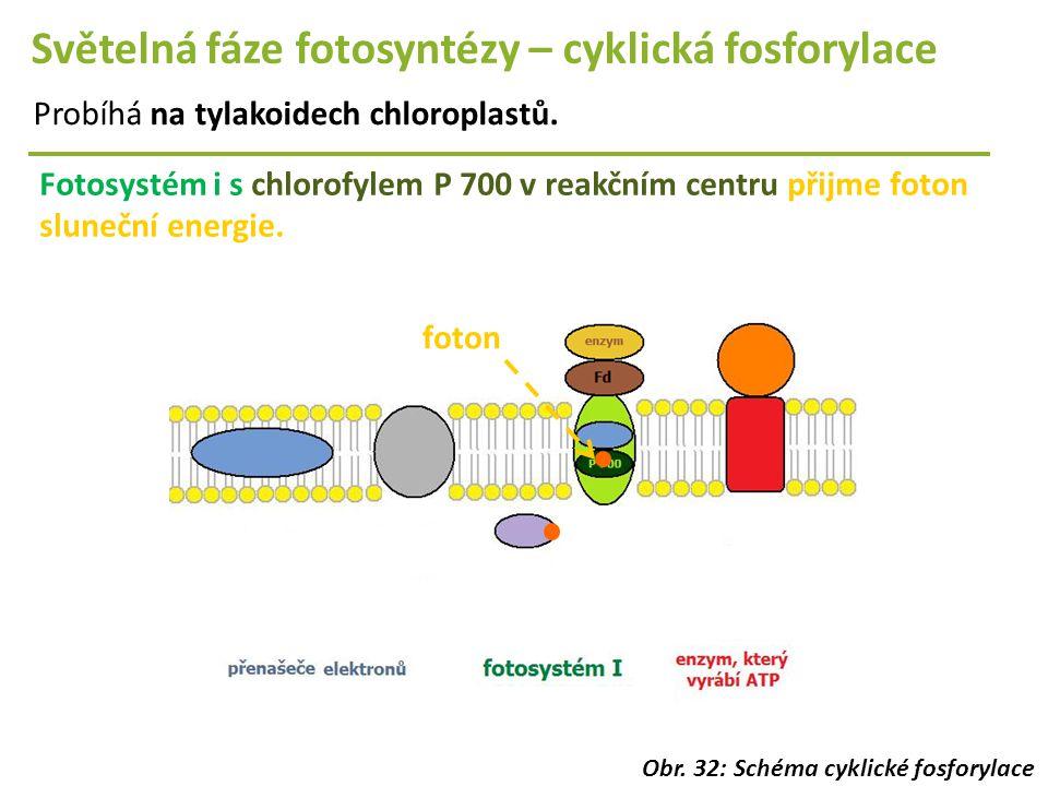 Světelná fáze fotosyntézy – cyklická fosforylace Probíhá na tylakoidech chloroplastů. Fotosystém i s chlorofylem P 700 v reakčním centru přijme foton