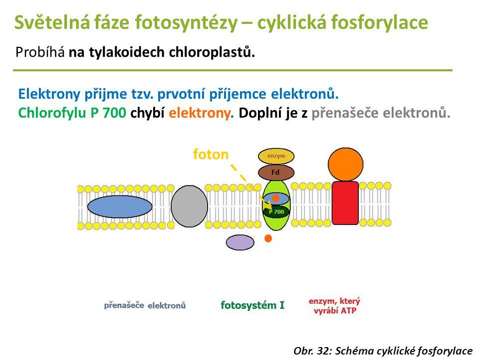 Světelná fáze fotosyntézy – cyklická fosforylace Probíhá na tylakoidech chloroplastů. Elektrony přijme tzv. prvotní příjemce elektronů. Chlorofylu P 7