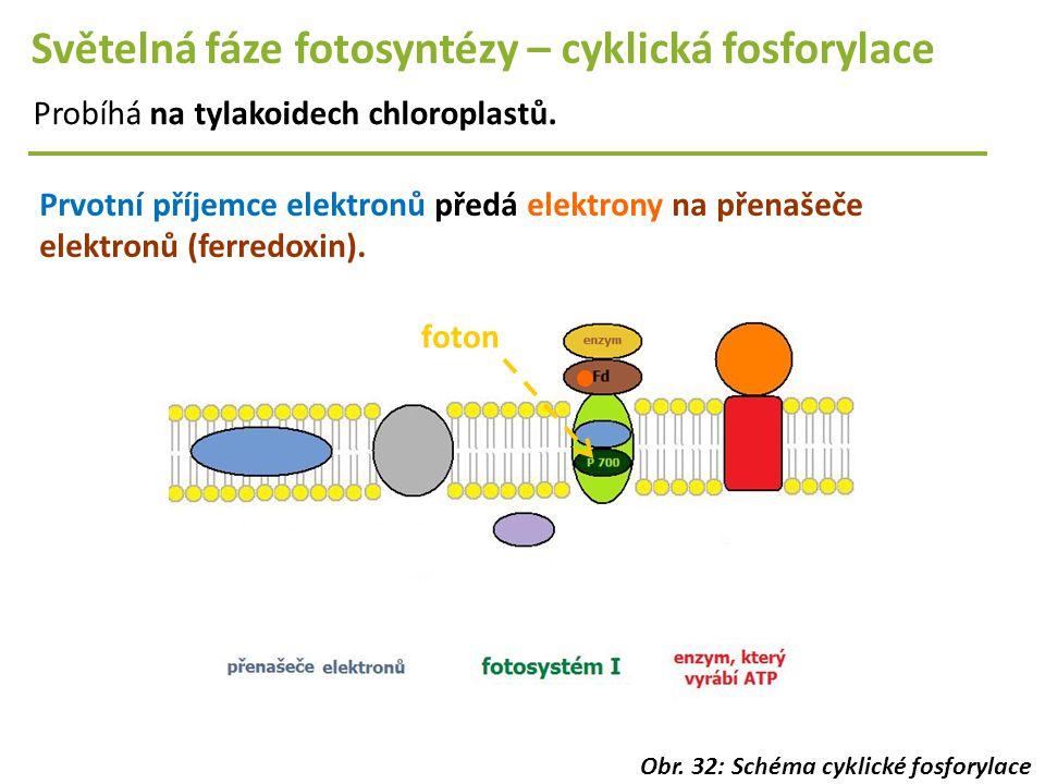 Světelná fáze fotosyntézy – cyklická fosforylace Probíhá na tylakoidech chloroplastů. Prvotní příjemce elektronů předá elektrony na přenašeče elektron