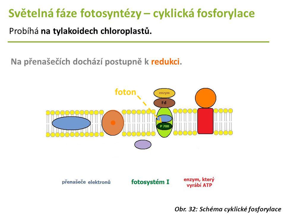 Světelná fáze fotosyntézy – cyklická fosforylace Probíhá na tylakoidech chloroplastů. Na přenašečích dochází postupně k redukci. foton Obr. 32: Schéma