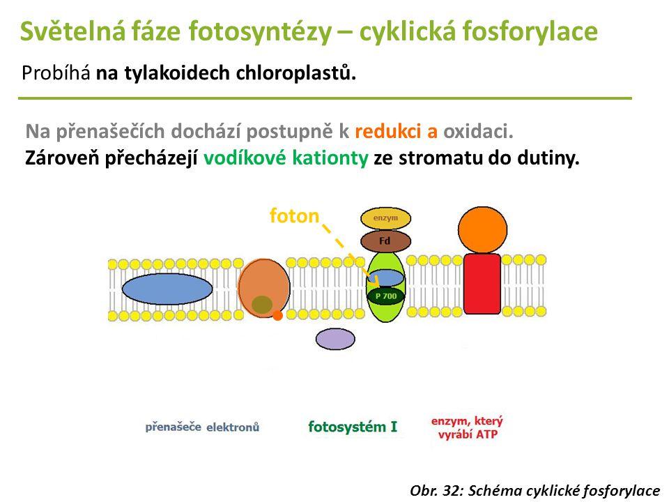 Světelná fáze fotosyntézy – cyklická fosforylace Probíhá na tylakoidech chloroplastů. Na přenašečích dochází postupně k redukci a oxidaci. Zároveň pře