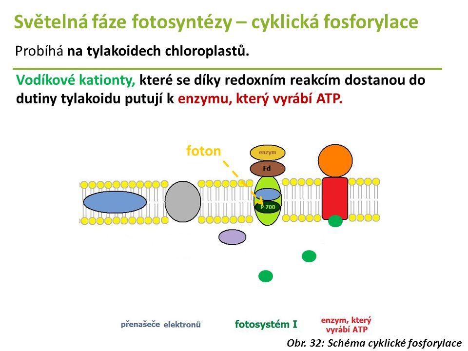 Světelná fáze fotosyntézy – cyklická fosforylace Probíhá na tylakoidech chloroplastů. Vodíkové kationty, které se díky redoxním reakcím dostanou do du