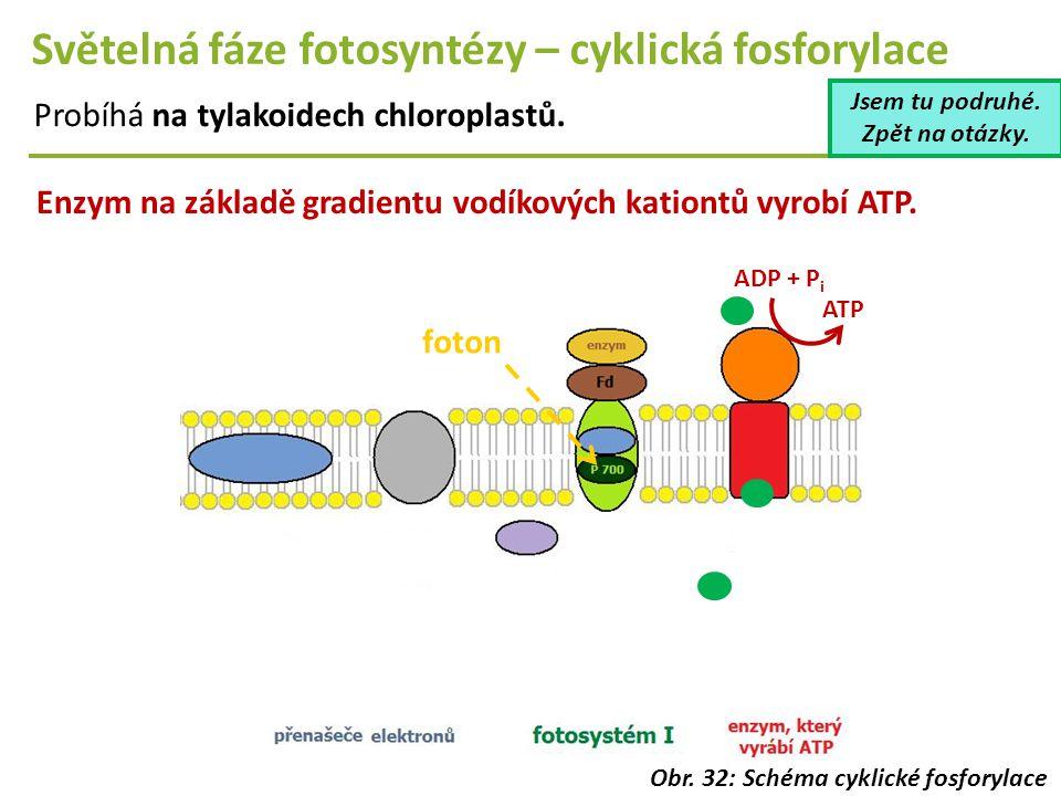 Světelná fáze fotosyntézy – cyklická fosforylace Probíhá na tylakoidech chloroplastů. Enzym na základě gradientu vodíkových kationtů vyrobí ATP. foton