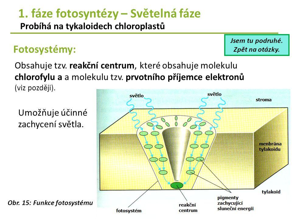 Fotosystémy: Probíhá na tykaloidech chloroplastů 1. fáze fotosyntézy – Světelná fáze Obr. 15: Funkce fotosystému Umožňuje účinné zachycení světla. Obs