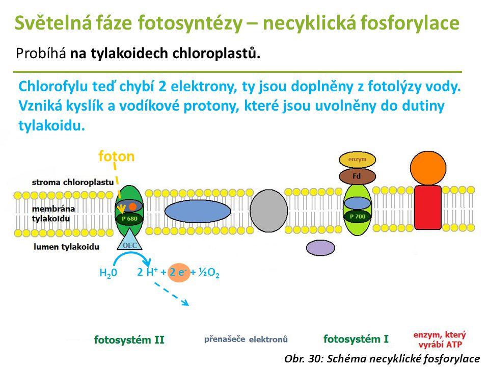 Světelná fáze fotosyntézy – necyklická fosforylace Probíhá na tylakoidech chloroplastů. foton Chlorofylu teď chybí 2 elektrony, ty jsou doplněny z fot