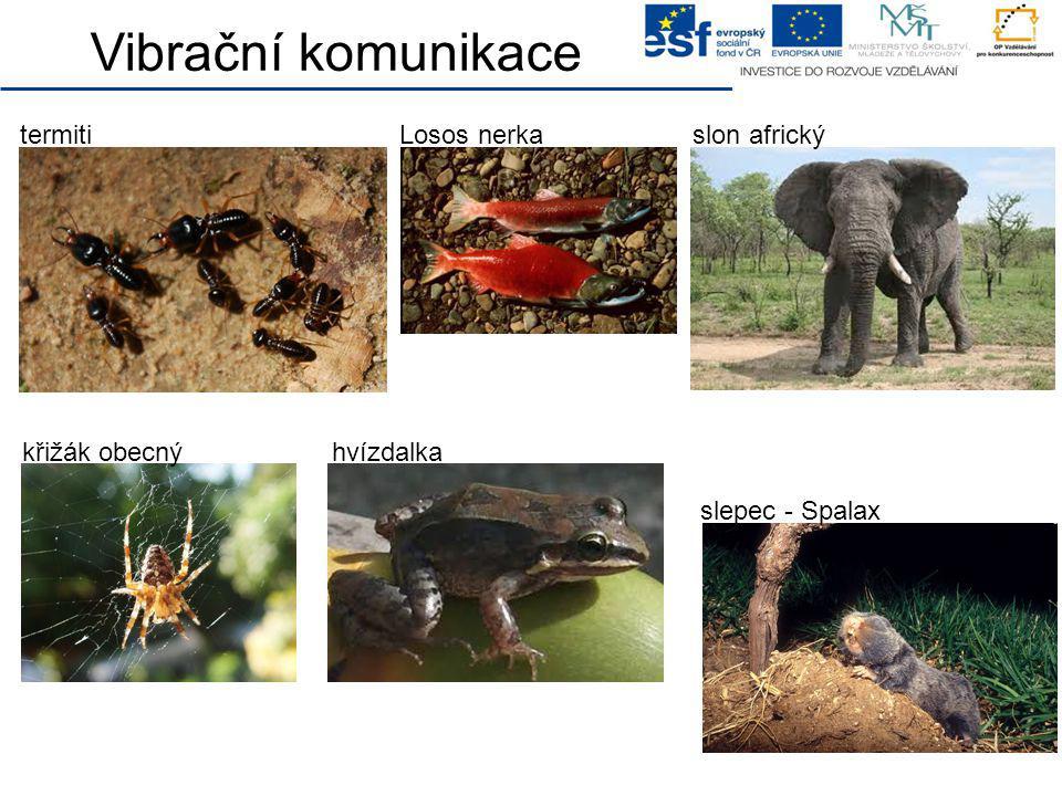 Vibrační komunikace termitislon africkýLosos nerka slepec - Spalax křižák obecnýhvízdalka