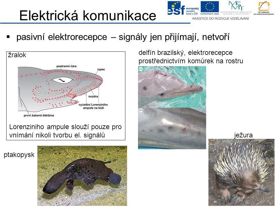 Elektrická komunikace  pasivní elektrorecepce – signály jen přijímají, netvoří delfín brazilský, elektrorecepce prostřednictvím komůrek na rostru žra