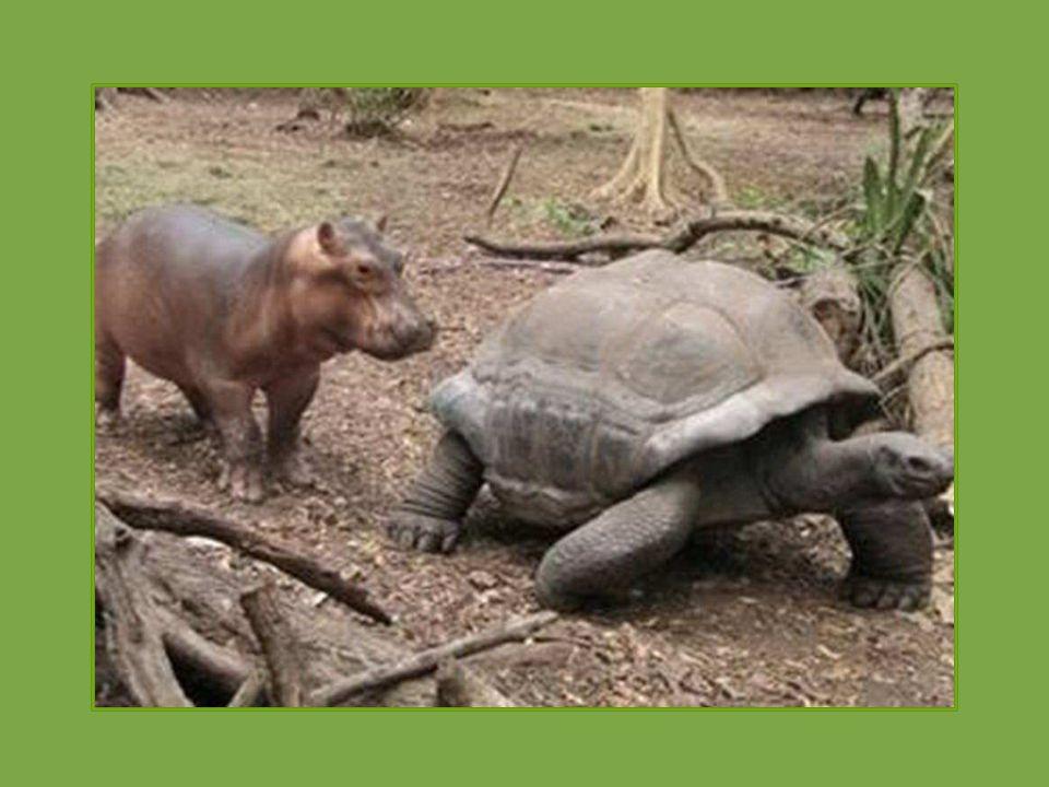 Mládě hrocha, které přežilo vlnu tsunami na keňském pobřeží si vytvořilo silný vztah k obrovské želvě.