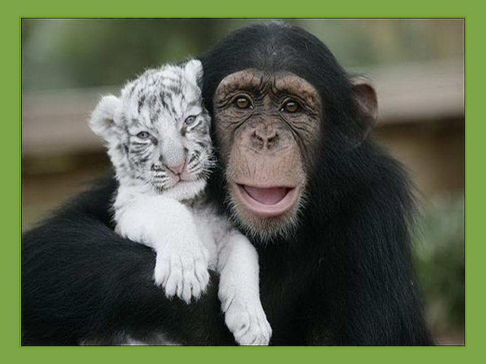 Šimpanzice Anjana zachránila dva bílé tygry, kteří po hurikánu Hanna v Jižní Karolině ztratili matku. Nejen že si s nimi hraje, ale také pomáhá při kr