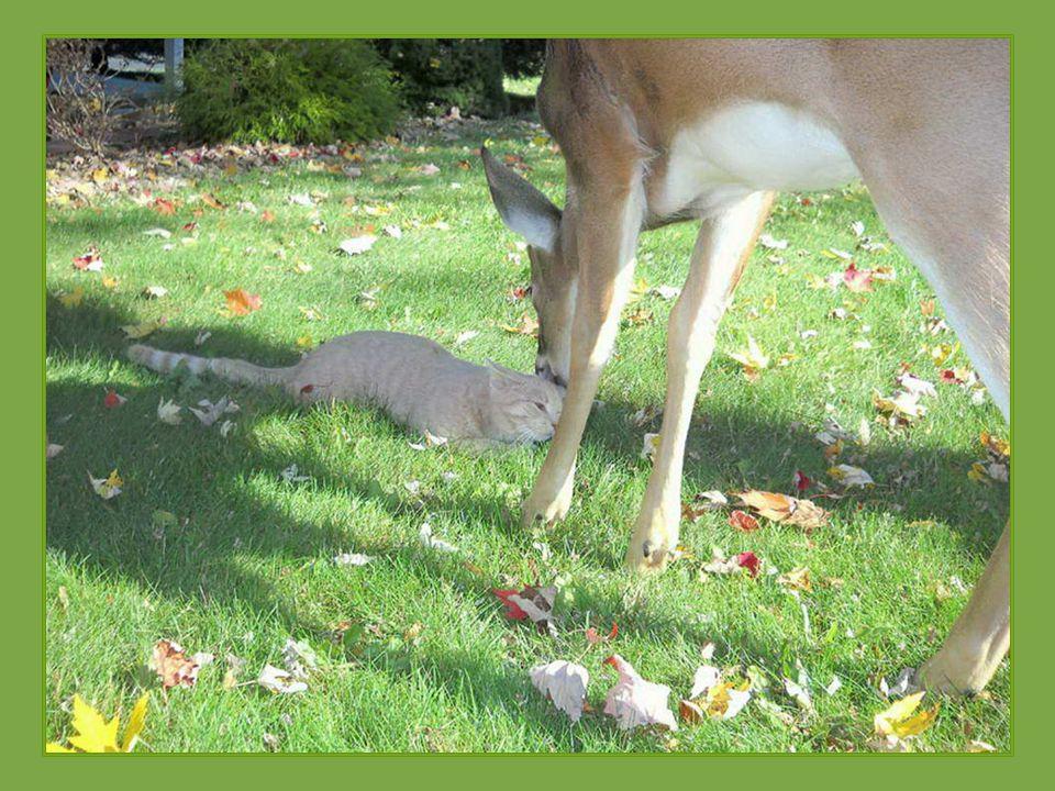 Kočka v americkém Harrisburgu ve státě Pennsylvania má zvláštního přítele. Každé ráno ji navštěvuje jelen, který přichází na zahradu. Majitel kočky po