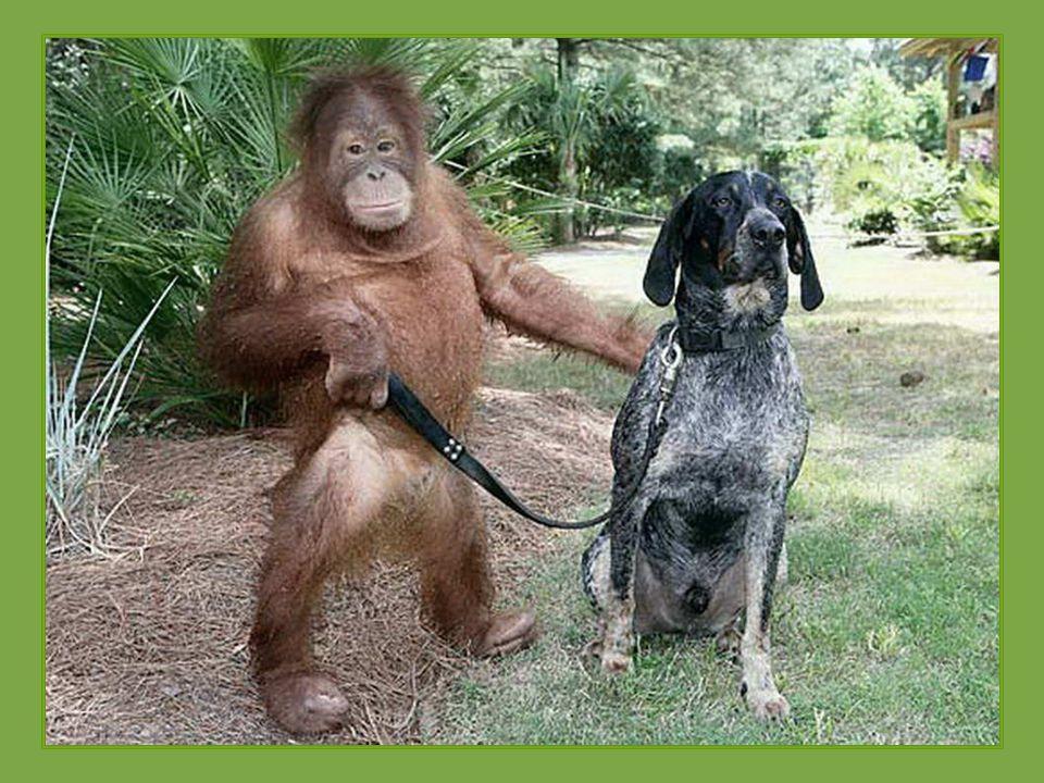 Poté, co ztratil své rodiče, byl tříletý orangutan Roscoe v takové depresi, že odmítal cokoliv jíst a nereagoval dobře na léčbu. Veterináři vycítili,