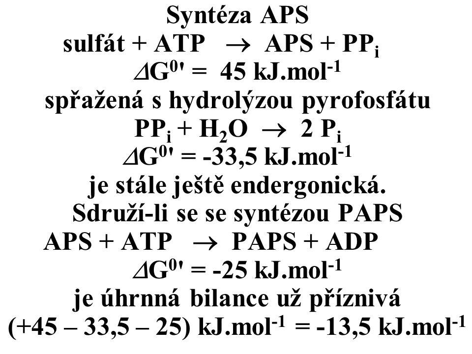 Syntéza APS sulfát + ATP  APS + PP i  G 0 = 45 kJ.mol -1 spřažená s hydrolýzou pyrofosfátu PP i + H 2 O  2 P i  G 0 = -33,5 kJ.mol -1 je stále ještě endergonická.