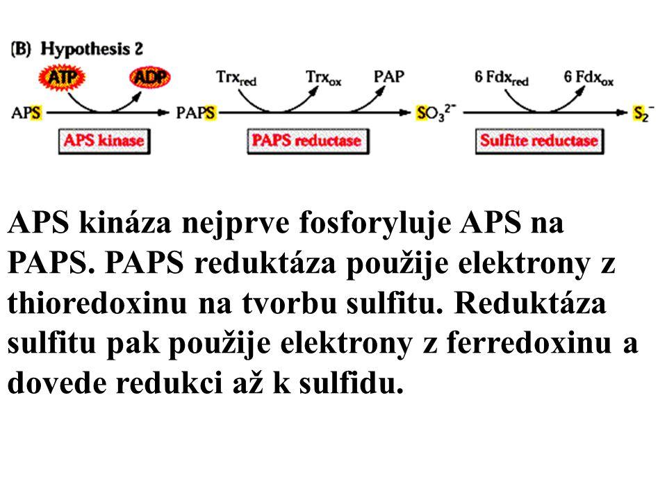 APS kináza nejprve fosforyluje APS na PAPS.