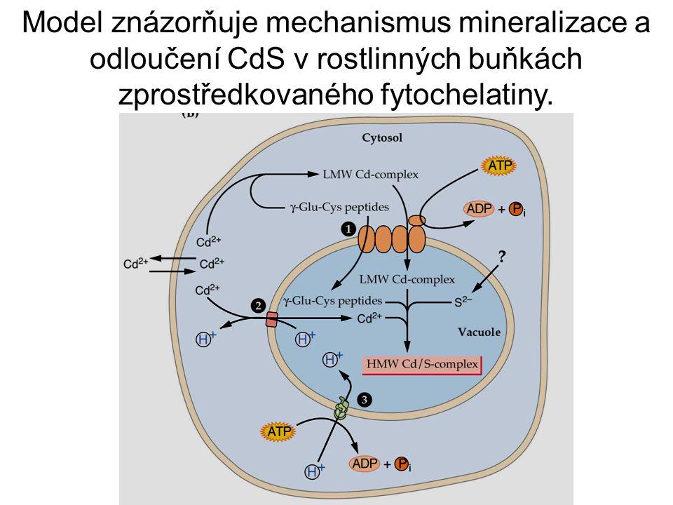 Model znázorňuje mechanismus mineralizace a odloučení CdS v rostlinných buňkách zprostředkovaného fytochelatiny.