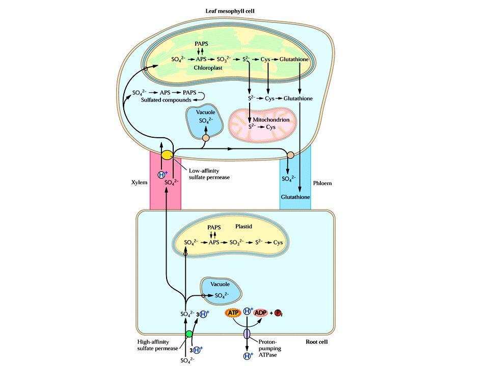 vakuola Leukoplast nebo proplastid síranová permeáza o vysoké aktivitě ATPáza čerpající protony kořenová buňka