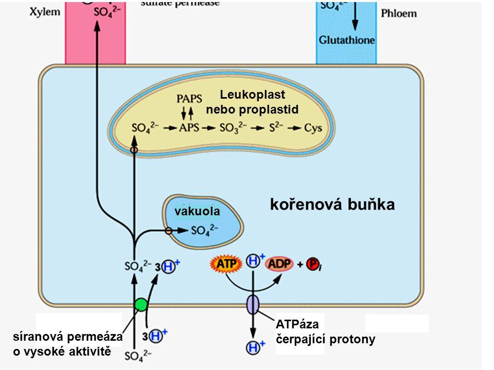 vakuola xylém floém permeáza pro síran s nízkou aktivitou mezofylová buňka listu mitochondrie sulfátované sloučeniny