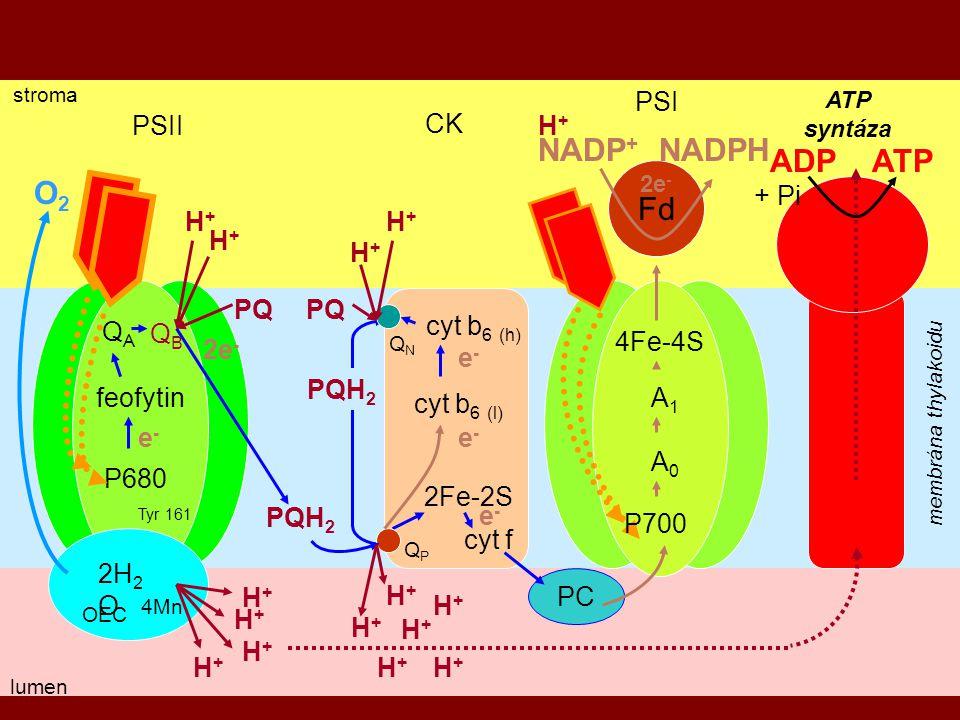 11 stroma membrána thylakoidu lumen PSII PSI CK QAQA QBQB P680 feofytin ATP syntáza QPQP QNQN cyt b 6 (l) cyt b 6 (h) 2Fe-2S cyt f PC A0A0 4Fe-4S A1A1 OEC Tyr 161 PQH 2 PQ PQH 2 H+H+ H+H+ H+H+ H+H+ e-e- 2e - e-e- e-e- e-e- H+H+ H+H+ Fd NADP + NADPH H+H+ 2e - H+H+ H+H+ H+H+ H+H+ 4Mn 2H 2 O O2O2 ADP ATP + Pi H+H+ H+H+ H+H+ H+H+ P700