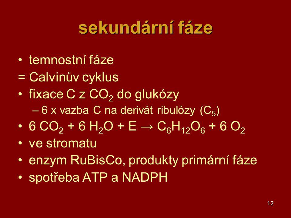 12 sekundární fáze temnostní fáze = Calvinův cyklus fixace C z CO 2 do glukózy –6 x vazba C na derivát ribulózy (C 5 ) 6 CO 2 + 6 H 2 O + E → C 6 H 12 O 6 + 6 O 2 ve stromatu enzym RuBisCo, produkty primární fáze spotřeba ATP a NADPH