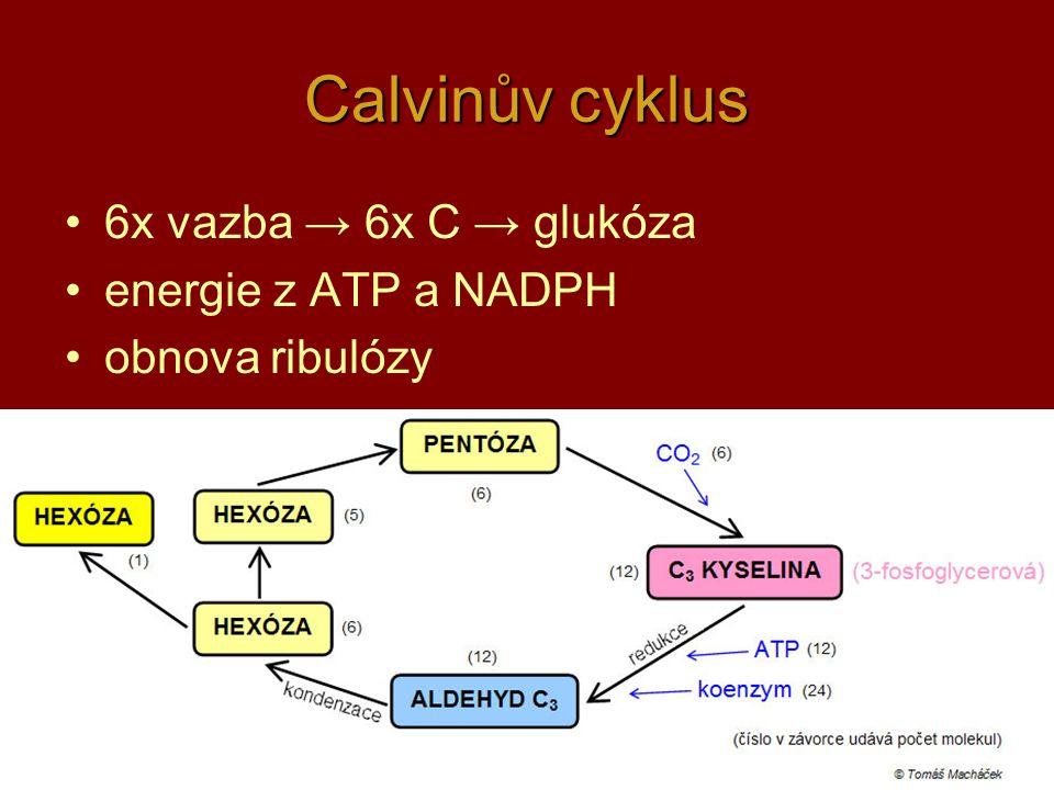 13 Calvinův cyklus 6x vazba → 6x C → glukóza energie z ATP a NADPH obnova ribulózy