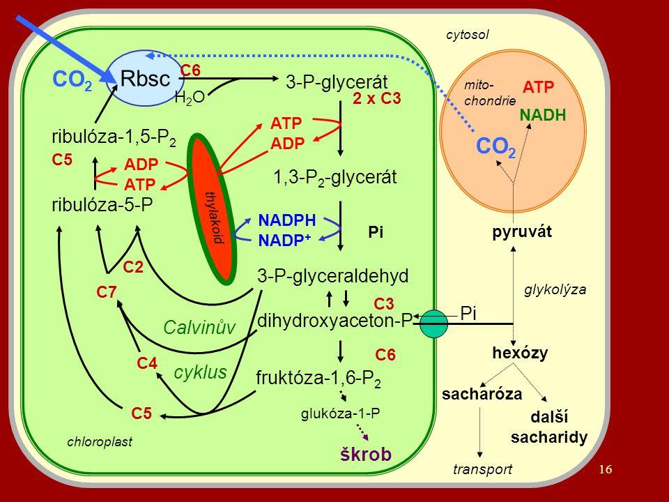 16 ribulóza-1,5-P 2 Rbsc 3-P-glycerát 1,3-P 2 -glycerát 3-P-glyceraldehyd dihydroxyaceton-P ATP ADP NADPH NADP + fruktóza-1,6-P 2 glukóza-1-P škrob ribulóza-5-P Pi C6 2 x C3 C3 C6 C2 C5 C4 C7 ADP ATP Pi glykolýza pyruvát CO 2 NADH ATP CO 2 C5 chloroplast H2OH2O thylakoid hexózy sacharóza transport další sacharidy cytosol mito- chondrie Calvinův cyklus