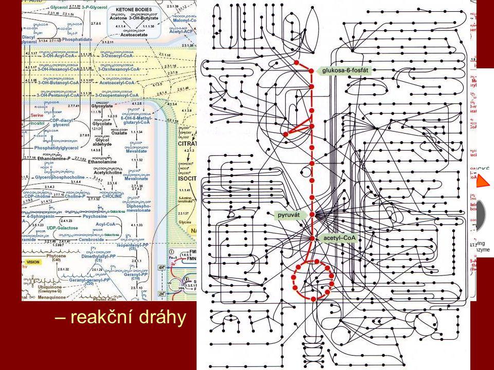 2 buněčný metabolismus energie a atomy (stavební látky) katabolismus = rozklad –získávání E a atomů anabolismus = syntéza –ukládání E a atomů katalyzátory – enzymy –umožnění a regulace průběhu reakcí –substrát → reakce → produkt –reakční dráhy
