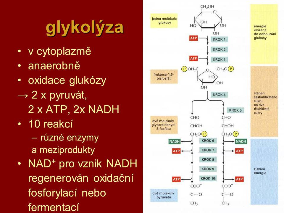 22 glykolýza v cytoplazmě anaerobně oxidace glukózy → 2 x pyruvát, 2 x ATP, 2x NADH 10 reakcí –různé enzymy a meziprodukty NAD + pro vznik NADH regenerován oxidační fosforylací nebo fermentací