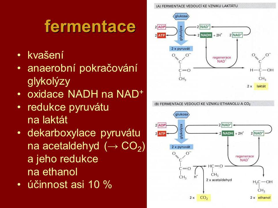 23 fermentace kvašení anaerobní pokračování glykolýzy oxidace NADH na NAD + redukce pyruvátu na laktát dekarboxylace pyruvátu na acetaldehyd (→ CO 2 ) a jeho redukce na ethanol účinnost asi 10 %