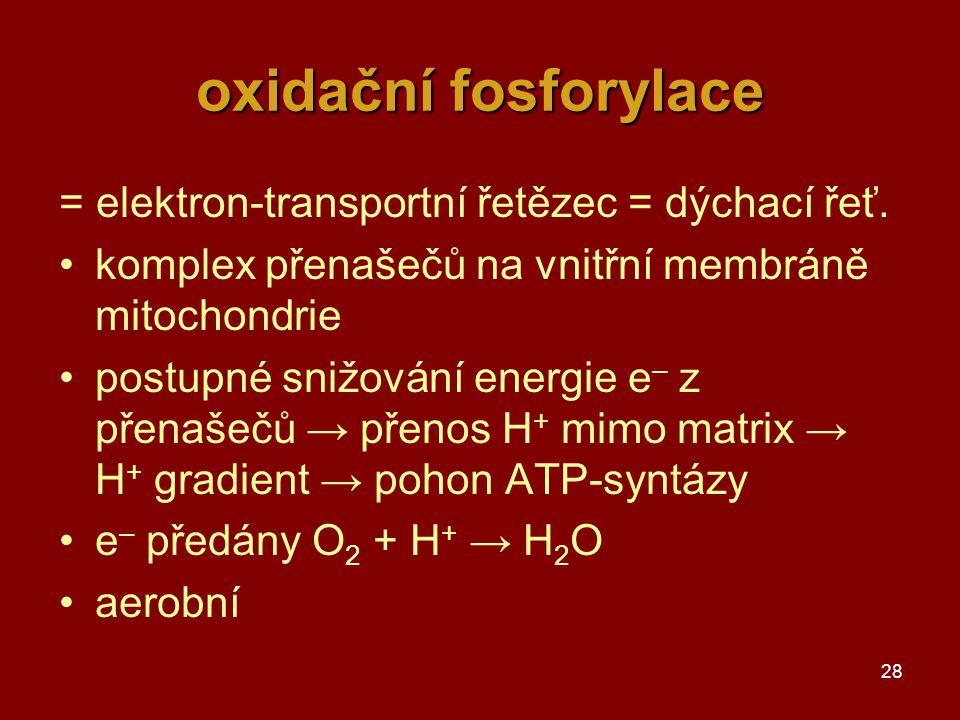 28 oxidační fosforylace = elektron-transportní řetězec = dýchací řeť. komplex přenašečů na vnitřní membráně mitochondrie postupné snižování energie e