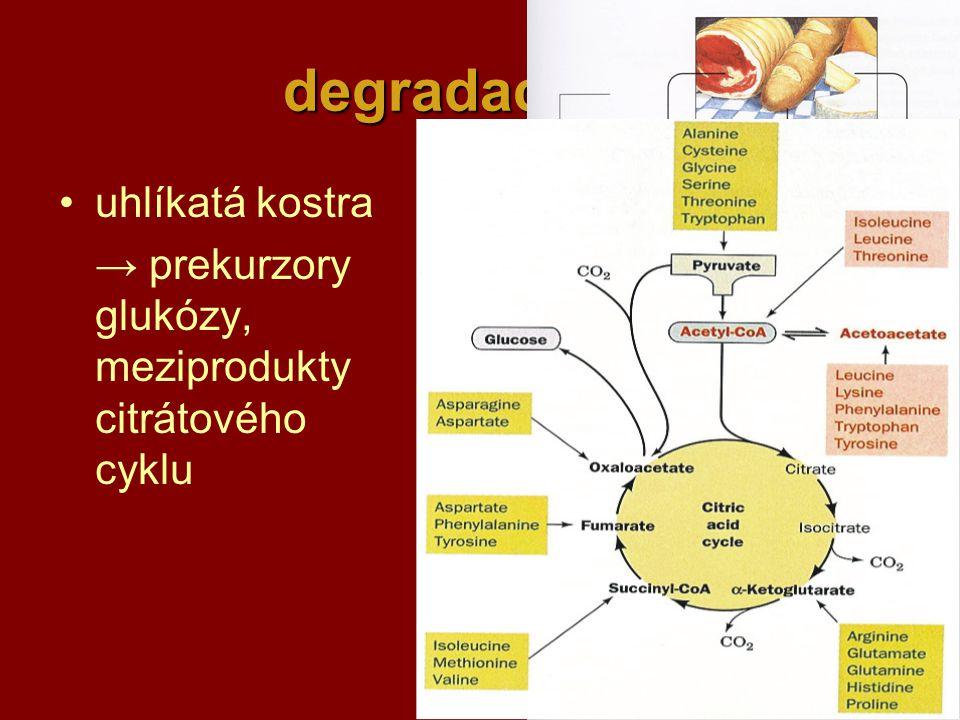 38 degradace AK uhlíkatá kostra → prekurzory glukózy, meziprodukty citrátového cyklu