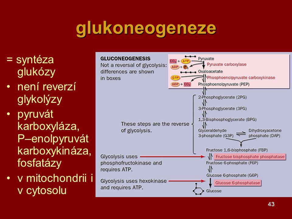 43 glukoneogeneze = syntéza glukózy není reverzí glykolýzy pyruvát karboxyláza, P–enolpyruvát karboxykináza, fosfatázy v mitochondrii i v cytosolu