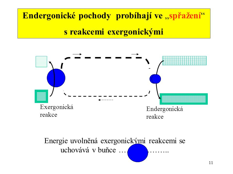 """11 Endergonické pochody probíhají ve """"spřažení"""" s reakcemi exergonickými Energie uvolněná exergonickými reakcemi se uchovává v buňce ……………….. Exergoni"""