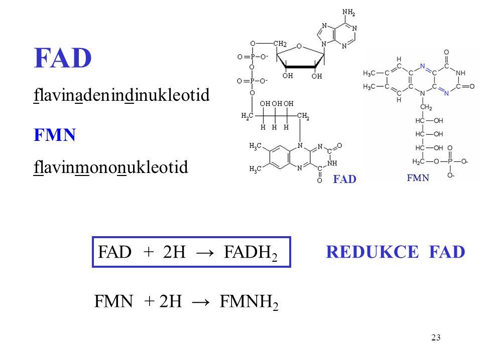 23 FAD FAD + 2H → FADH 2 FMN + 2H → FMNH 2 REDUKCE FAD flavinadenindinukleotid FMN flavinmononukleotid FAD