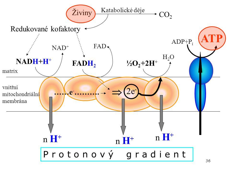 36 vnitřní mitochondriální membrána NADH+H + NAD + FADH 2 FAD  2e - ½O 2 +2H + H2OH2O n H + Živiny CO 2 Redukované kofaktory ATP matrix ……e - ………. Ka