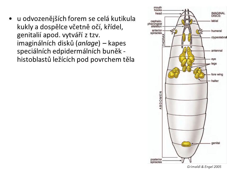u odvozenějších forem se celá kutikula kukly a dospělce včetně očí, křídel, genitalií apod. vytváří z tzv. imaginálních disků (anlage) – kapes speciál